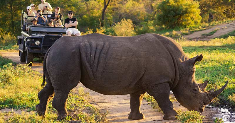 Safari rhino