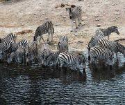 botswana zebra