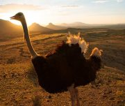 Knysna ostrich farm