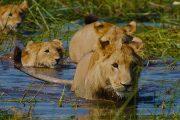 Okavango Lion