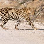 Namibia Etosha leopard