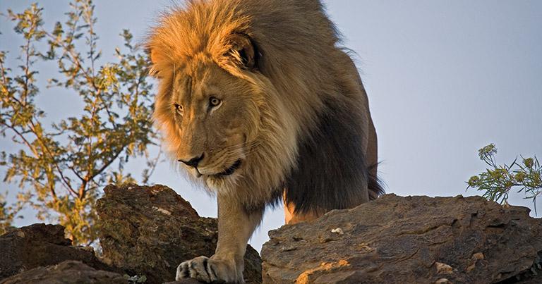 Namibia Etosha lion