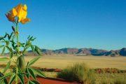 Namibia Kalahari flower